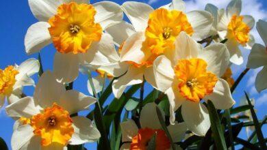 Цвете Нарцис